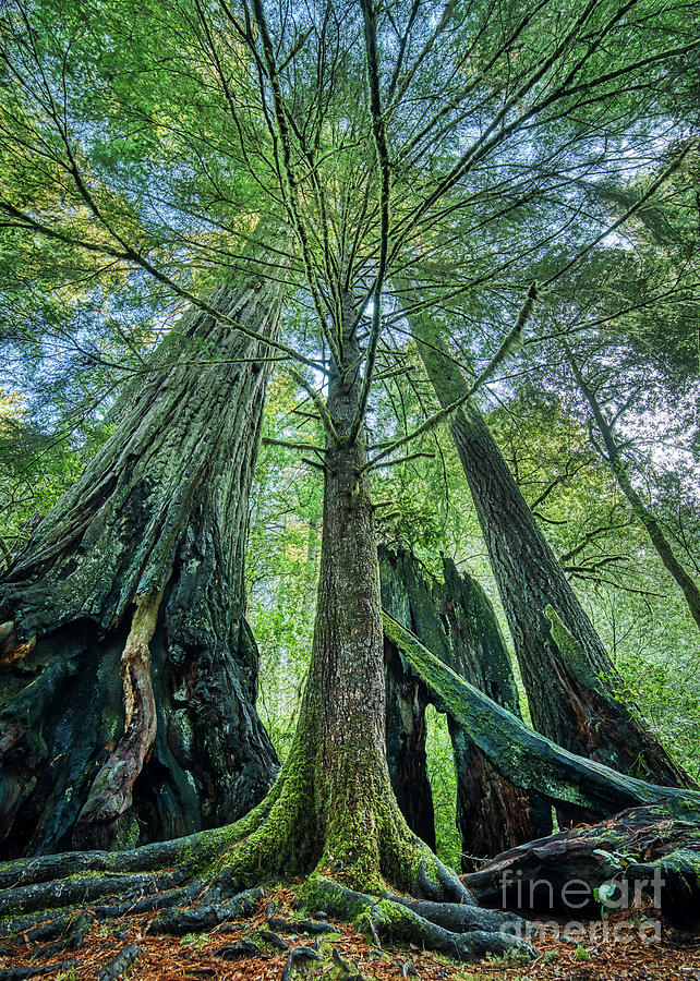Redwood National Park Trees Photograph