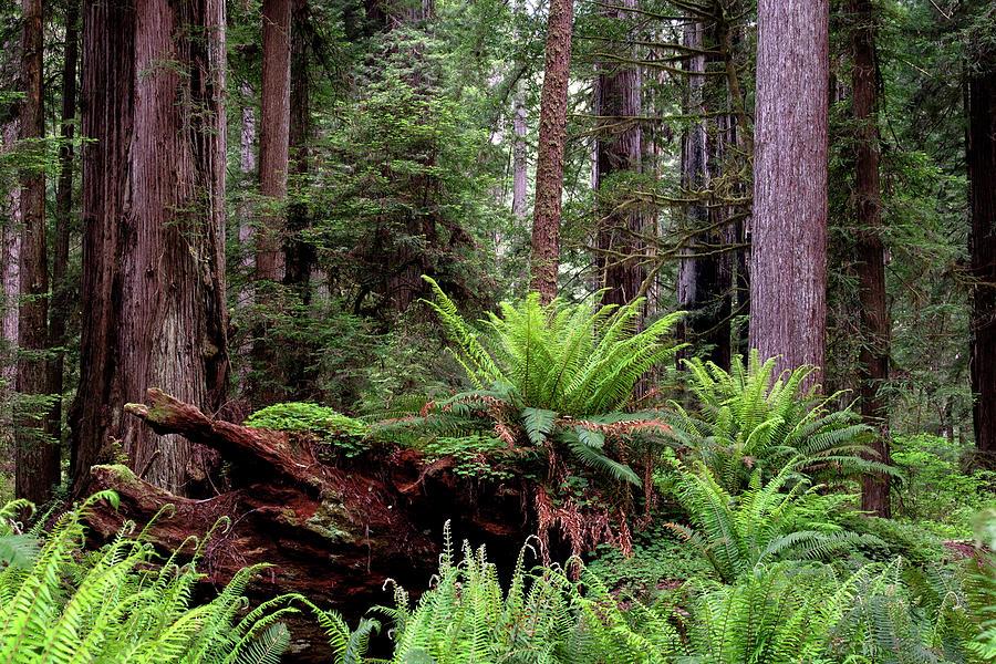 Redwoods, Crescent City, Ca 2 by Phyllis Spoor