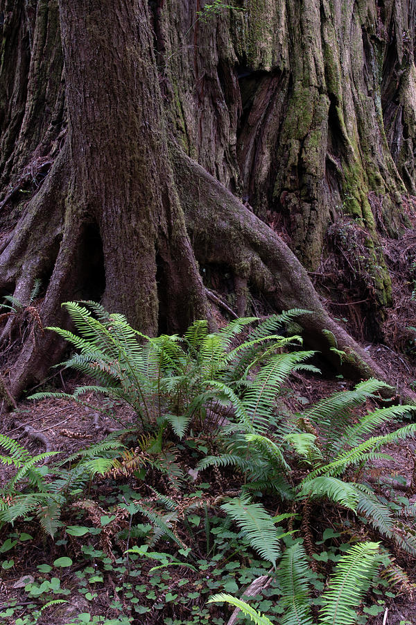 Redwoods, Crescent City, Ca P3  by Phyllis Spoor