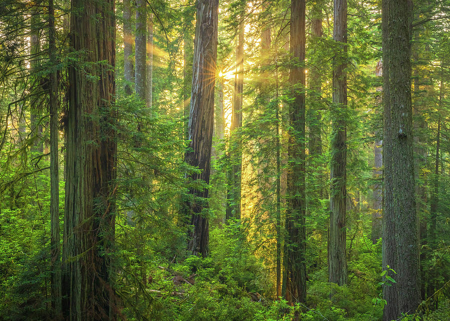 Redwoods Lost Coast Sunset Photograph