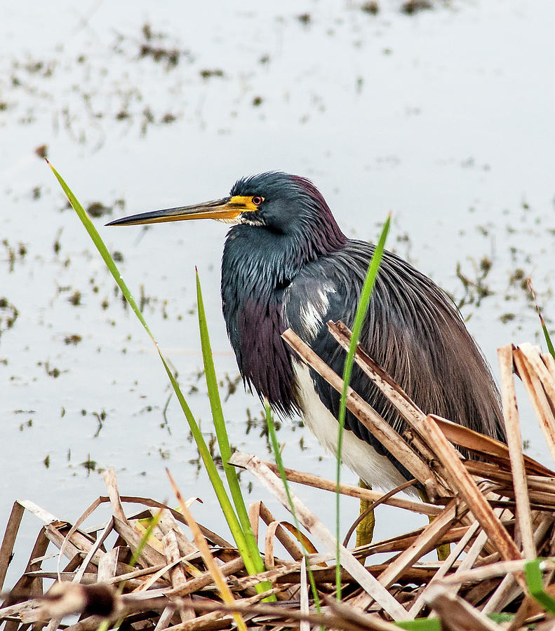 Tricolored Heron Photograph - Reed Shielded Tri-Color by Norman Johnson