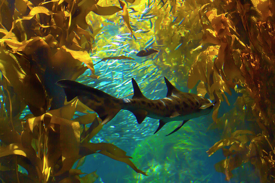 Reef Shark in the Kelp Forest by Bonnie Follett