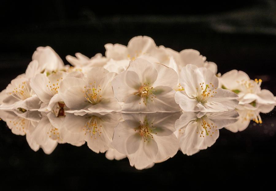 Reflecting Dogwood Blossoms Photograph