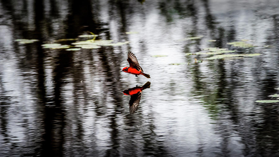 Reflections Of The Vermillion Flycatcher Photograph