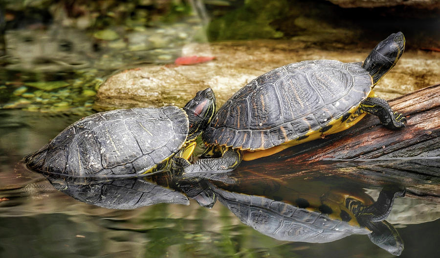 National Zoo Photograph - Reflections Of Two Turtles by Kathi Isserman