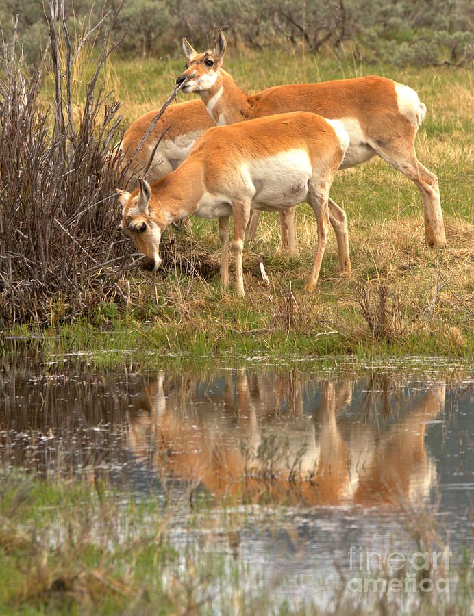 Reflections Of Yellowstone Pronghorn by Adam Jewell