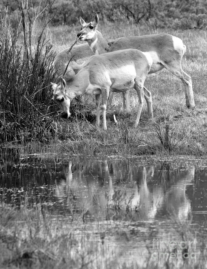Reflections Of Yellowstone Pronghorn Black And White by Adam Jewell
