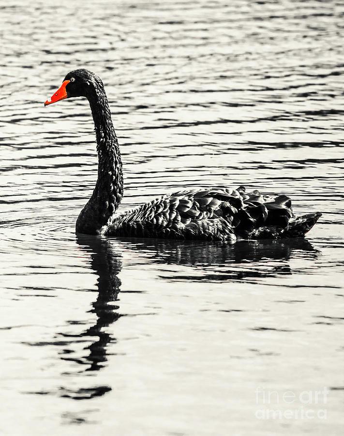 Black Photograph - Reflective Black Swan by Jorgo Photography - Wall Art Gallery