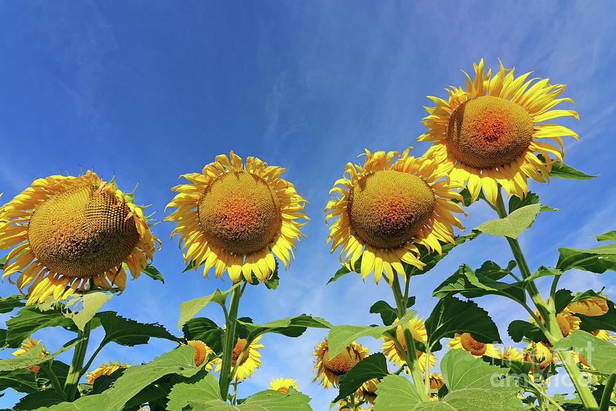 Relatives  Sunflowers  0475 Photograph