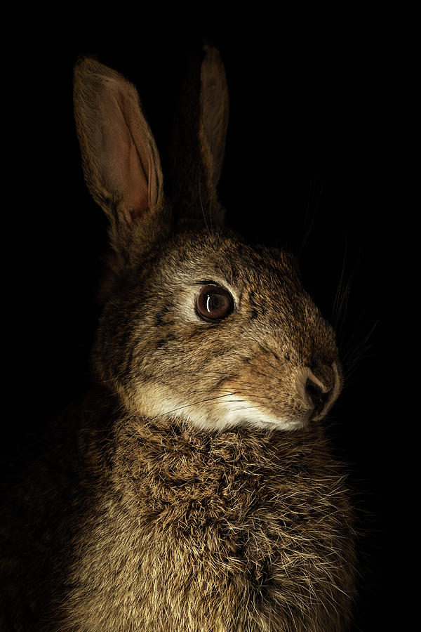Rembrandt's Rabbit by Amy Weiss