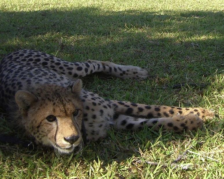 Resting Cat In Africa Photograph