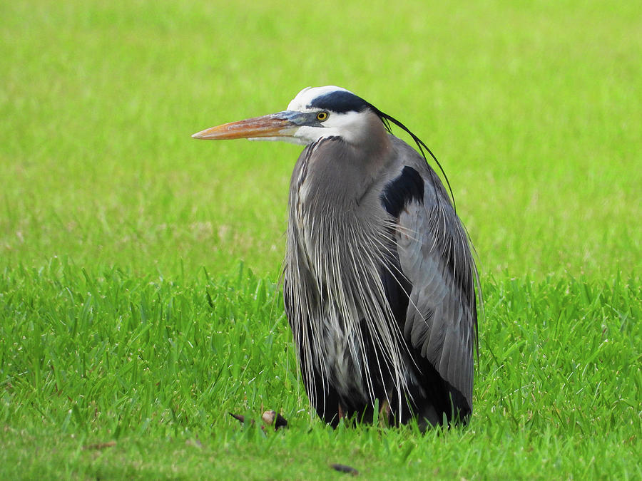Resting Great Blue Heron Photograph
