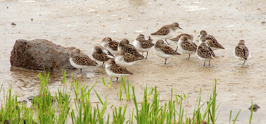 Resting Semipalmated Sandpipers by Kristia Adams