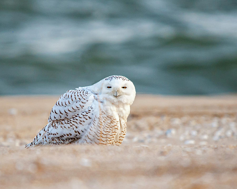 Return Of Snowy Owl Photograph