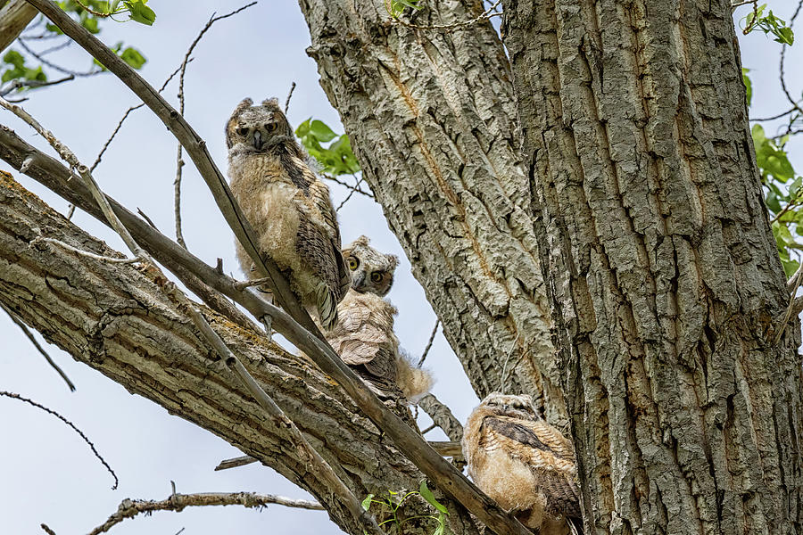 Revisiting The Three Great Horned Owlets Photograph