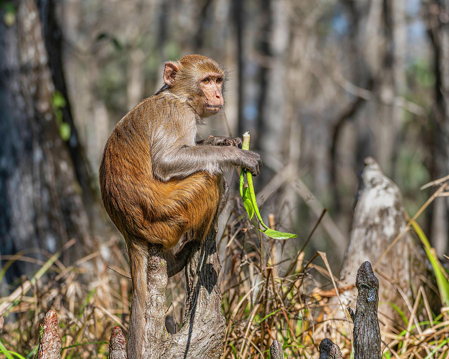 Rhesus Photograph - Rhesus Monkey on a Cypress Knee by Charles LeRette