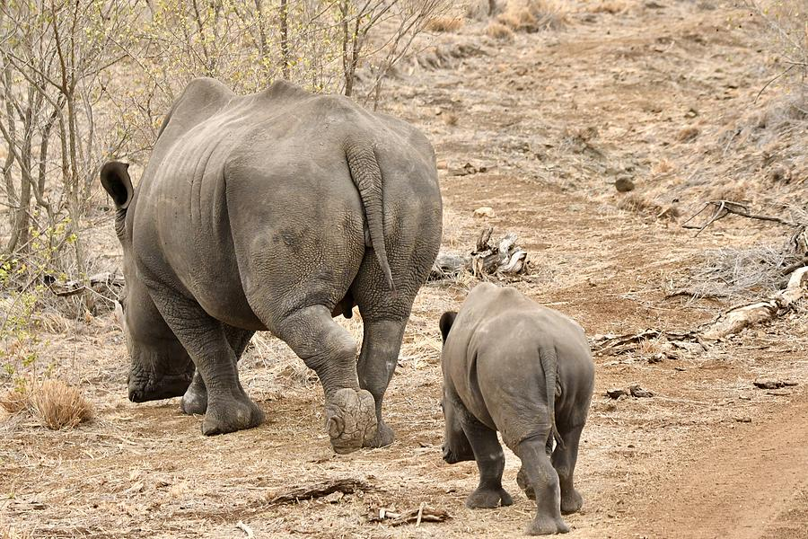Rhino Pair Leaving Photograph by Jeff R Clow