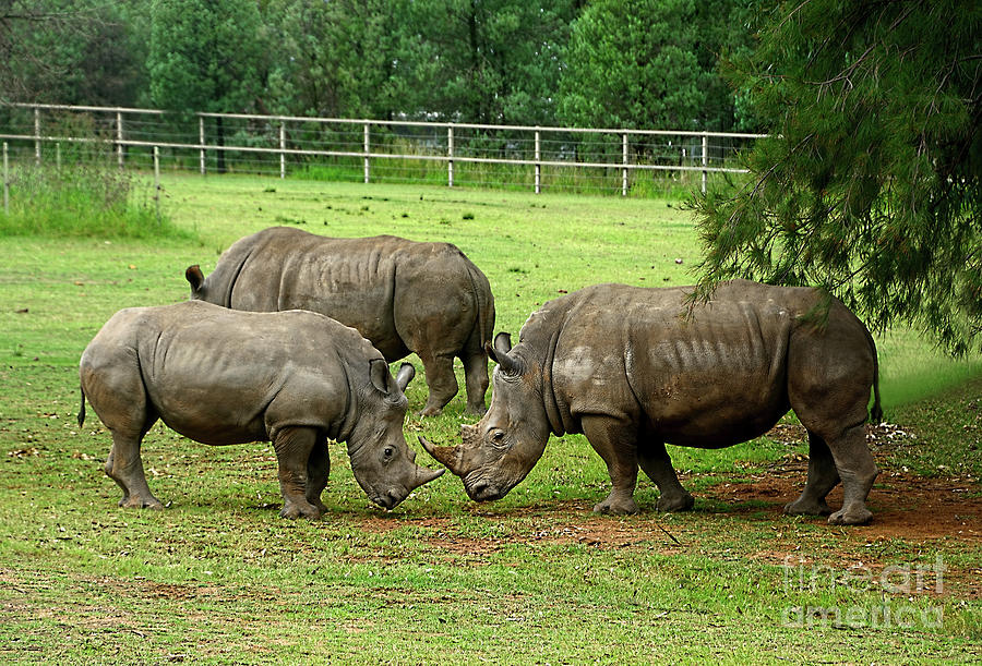Rhinoceros Games By Kaye Menner Photograph