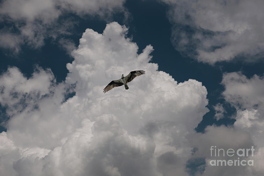 Riding The Currents - Osprey - Sea Hawk Photograph