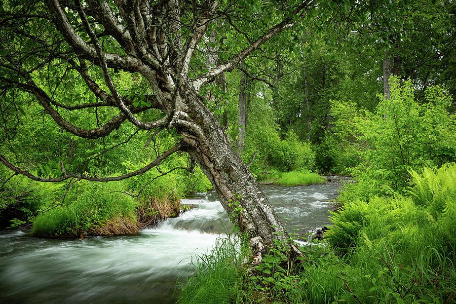 Alaska Photograph - River Birch by Tim Newton