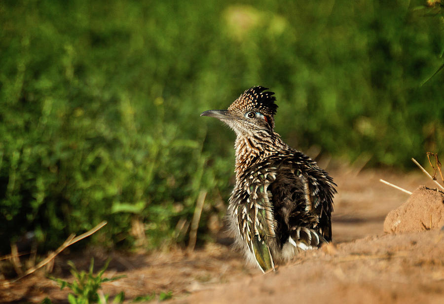 Cuckoo Photograph - Roadrunner Warm Up by Jack and Darnell Est