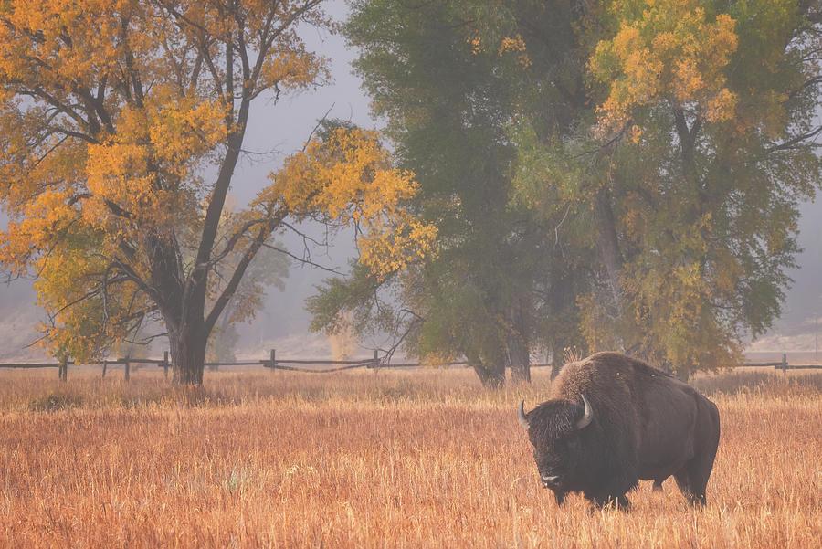 Roaming Bison Photograph