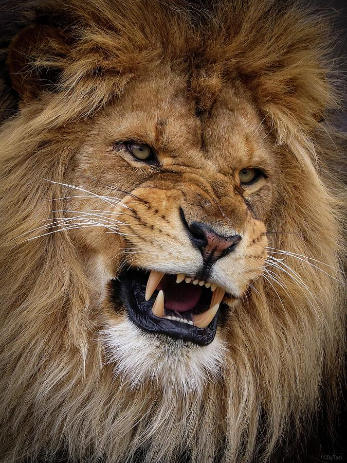 Lion Photograph - Roaring lion by RT Photography