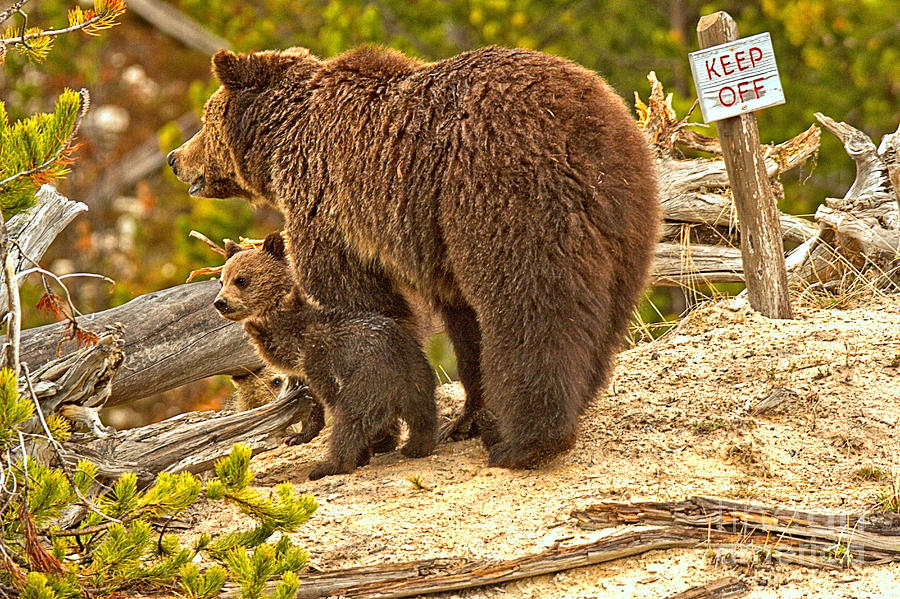 Roaring Mountain Grizzly Family by Adam Jewell