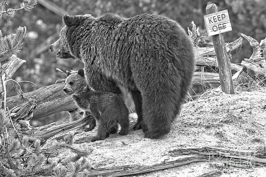 Roaring Mountain Grizzly Family Black And White by Adam Jewell