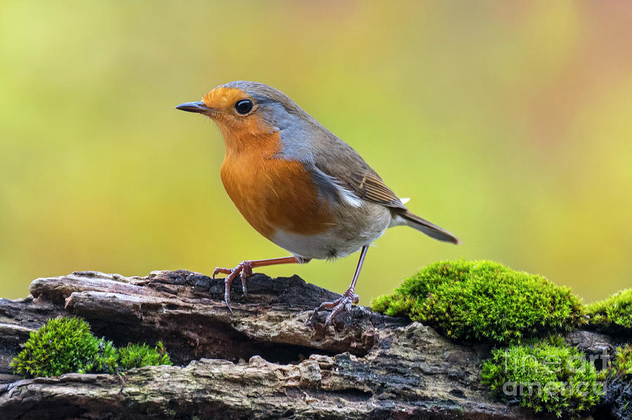 Robin by Arterra Picture Library