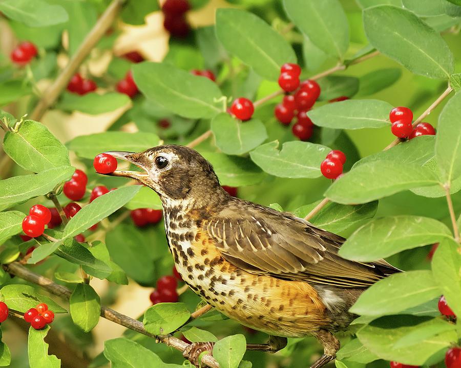 Robin Eating Berries Photograph