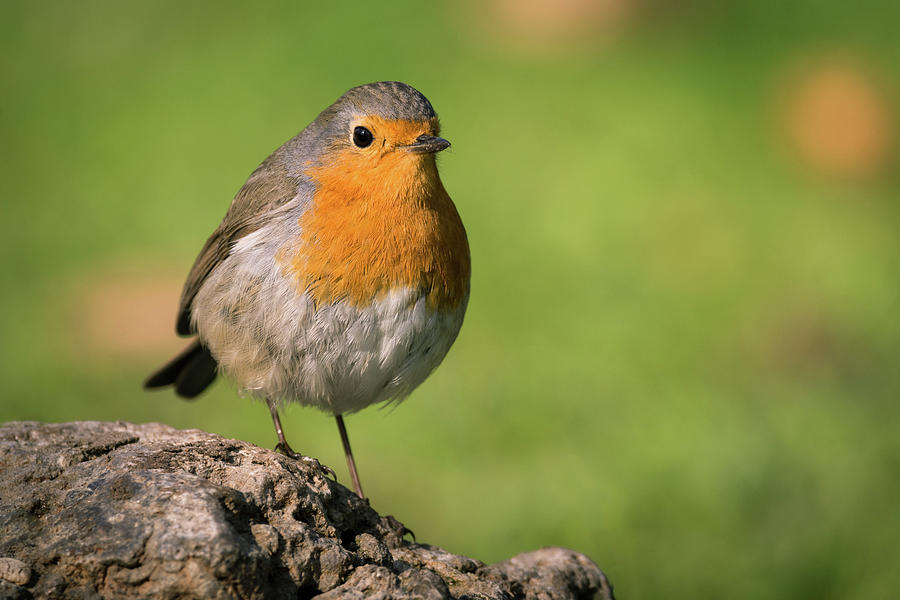 Robin On The Stone Photograph