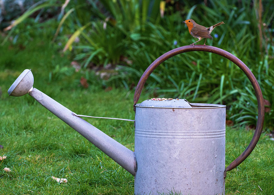 Robin Photograph - Robin on watering can by Nick Lewis