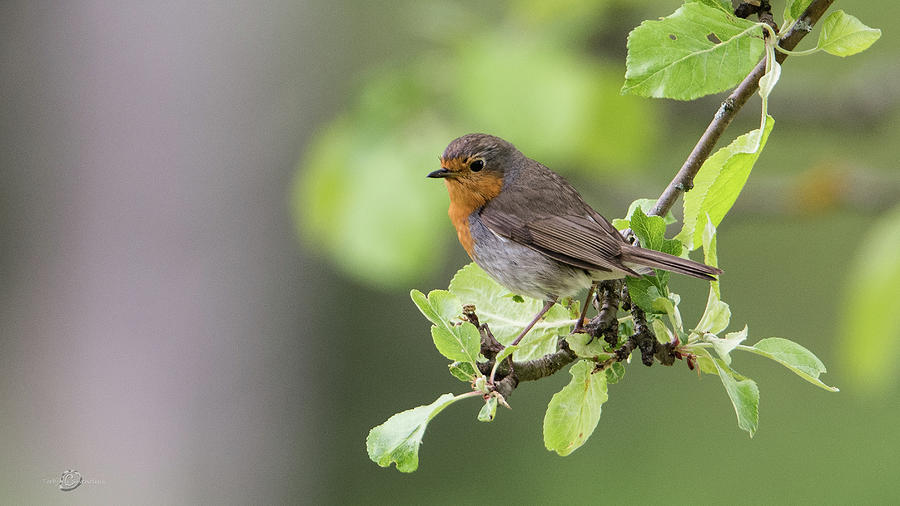 Robin Perching In The Apple Tree Photograph