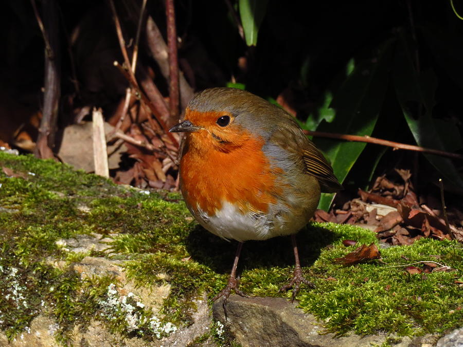 Bird Photograph - Robin Red Breast by Andrew Wright