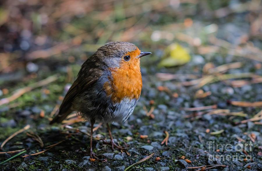 Robin Redbreast by Eva Lechner
