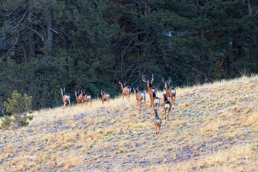 Rocky Mountain Deer Herd Photograph