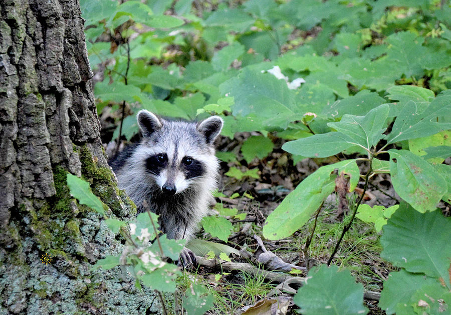 Rocky Raccoon Photograph by Staci Grimes