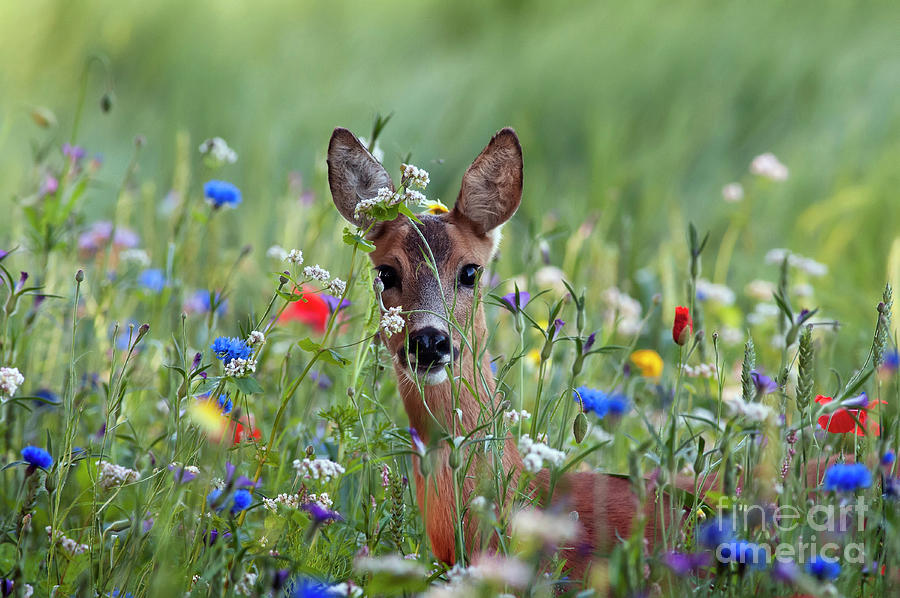 Roe Deer Amid Wildflowers by Ronald Stiefelhagen