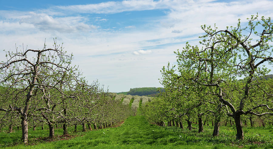 Rolling Hills And Apple Trees Photograph