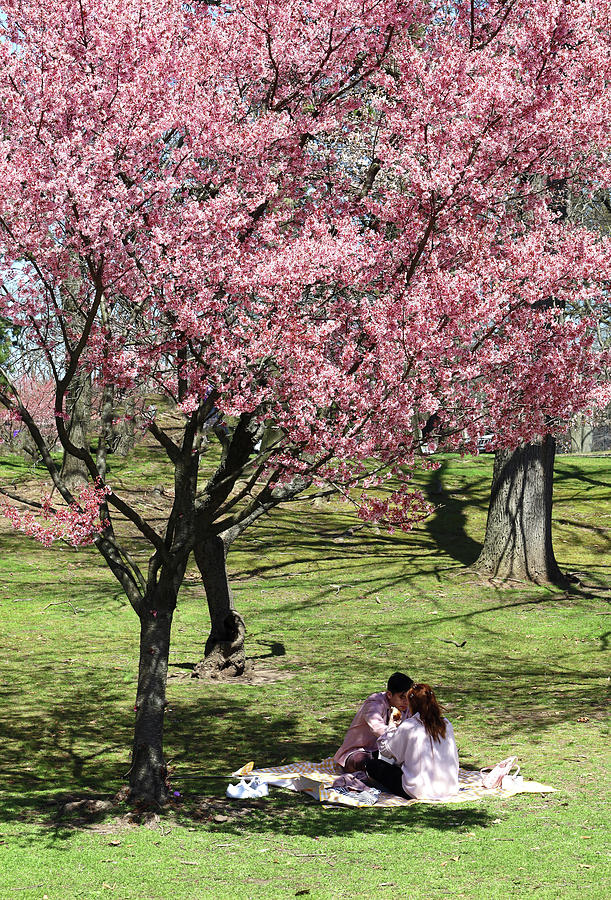 Romantic Picnic Under The Cherry Blossom Tree Photograph