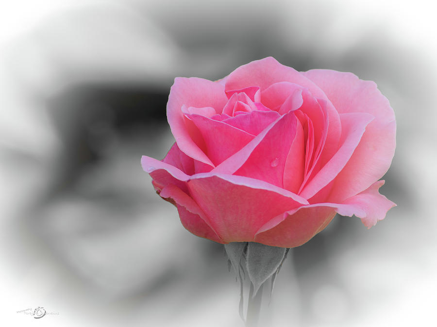 Romantic Pinkish Rose With A Raindrop Photograph