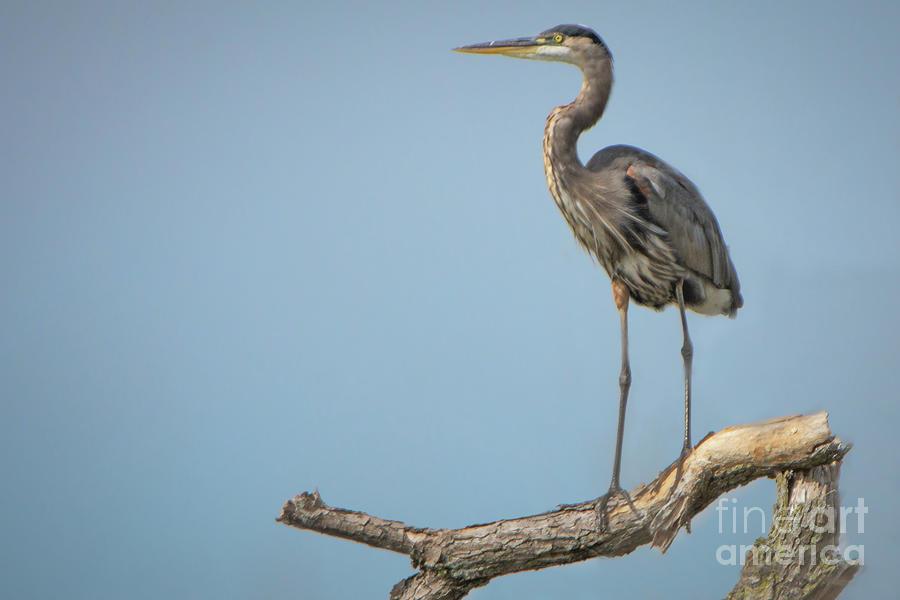 Heron Photograph - Roosting Heron by Gaby Swanson
