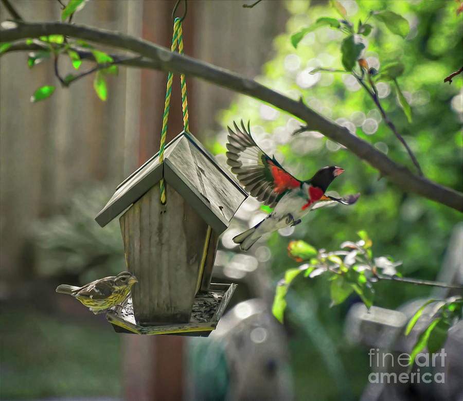Rose-breasted Grosbeaks - Male And Female Photograph