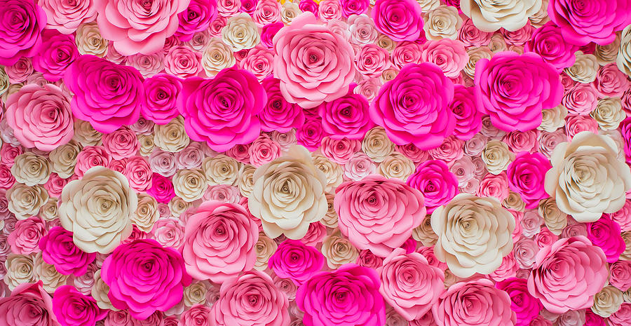 Rose, Dark Pink, Light Pink And White Photograph