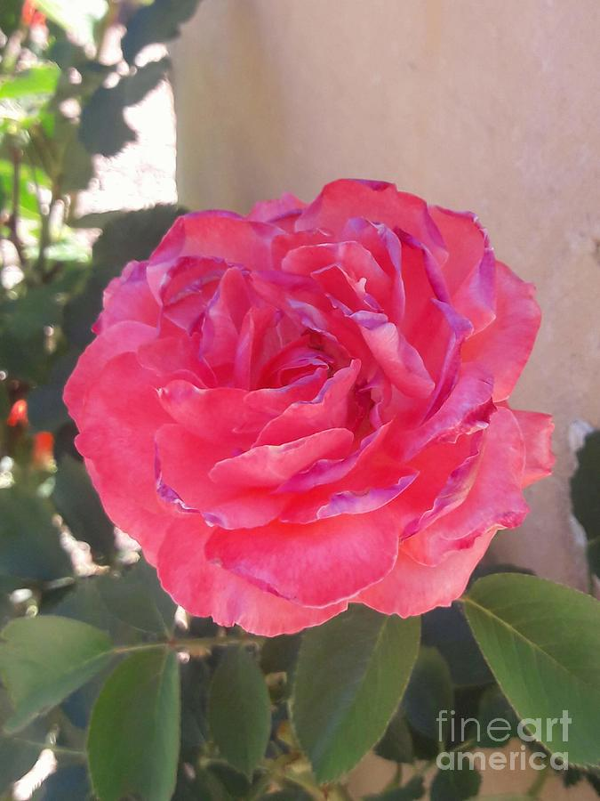 Rose In Bloom Photograph