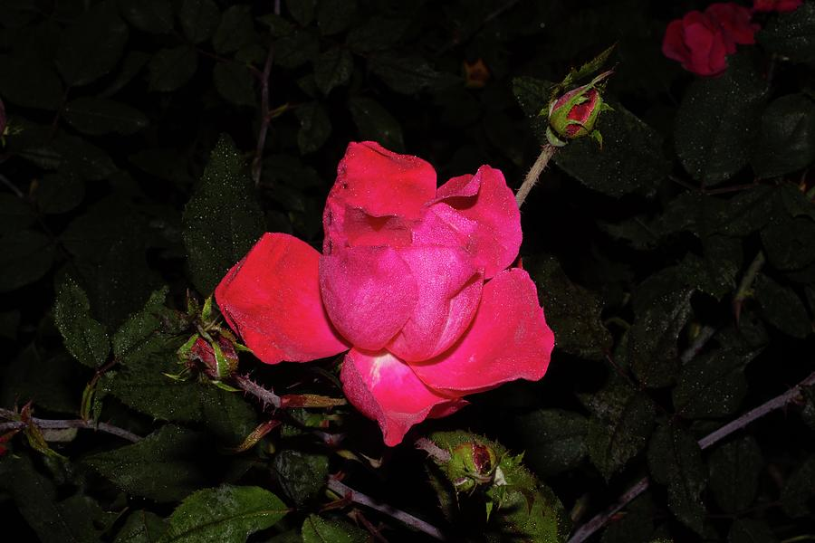 Rose Red 2 1092020 1183 Photograph by David Frederick