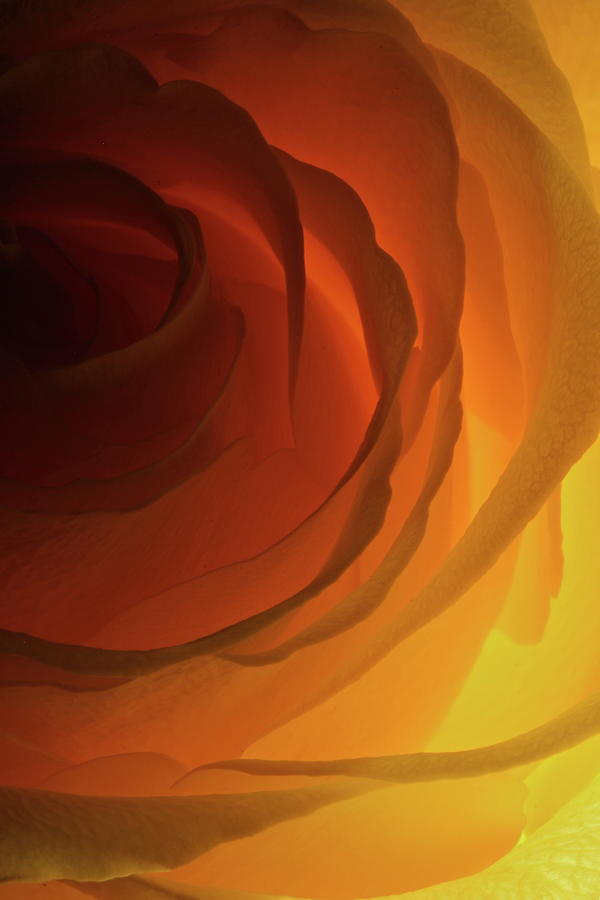 Macro Photograph - Rose Yellow 2295 by Julie Powell