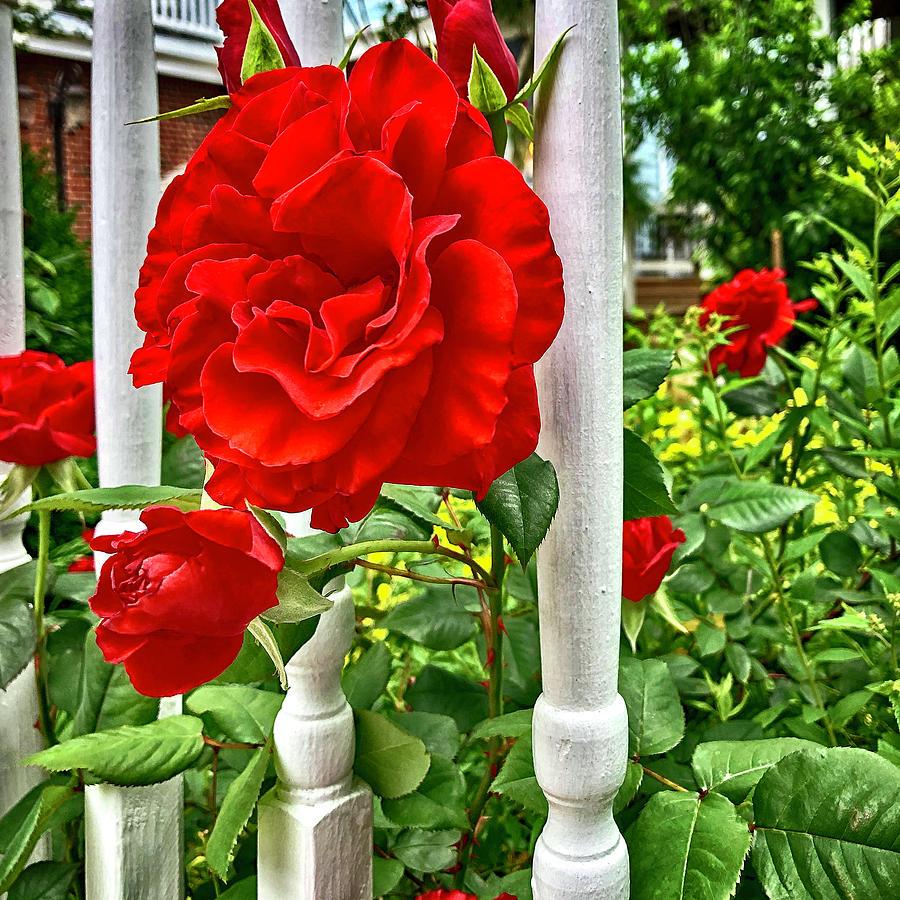 Roses At Kilmarnock Photograph