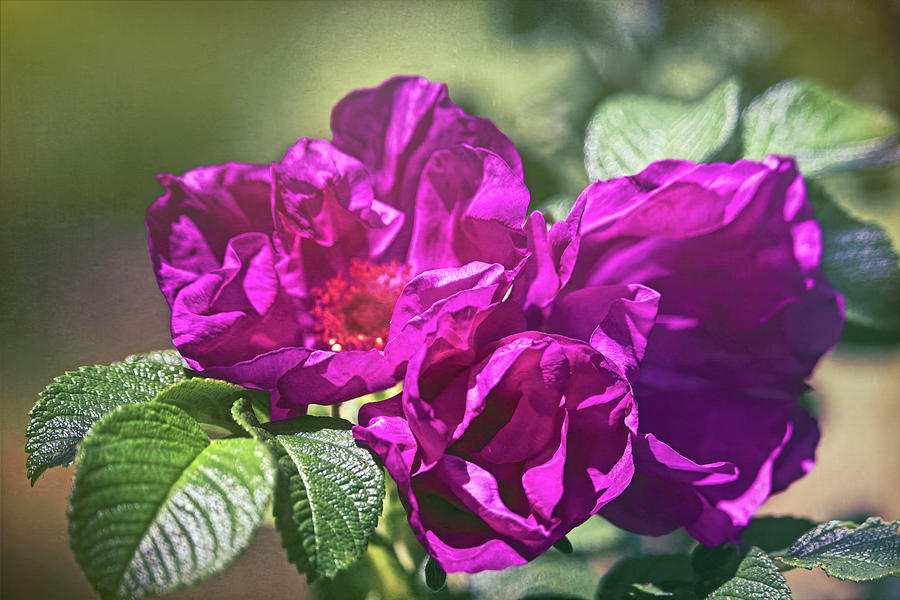 Roses In Pink Photograph
